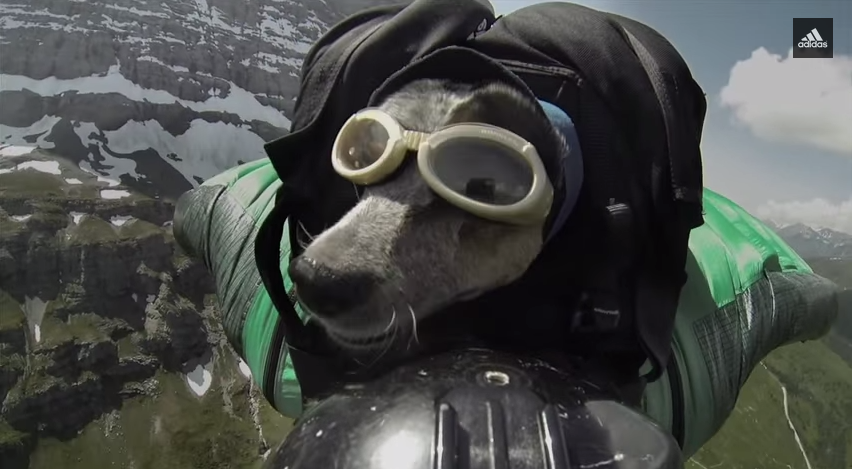 Whisper, the first wing-suit BASE-jumping doggie. Photo courtesy of Dean Potter.